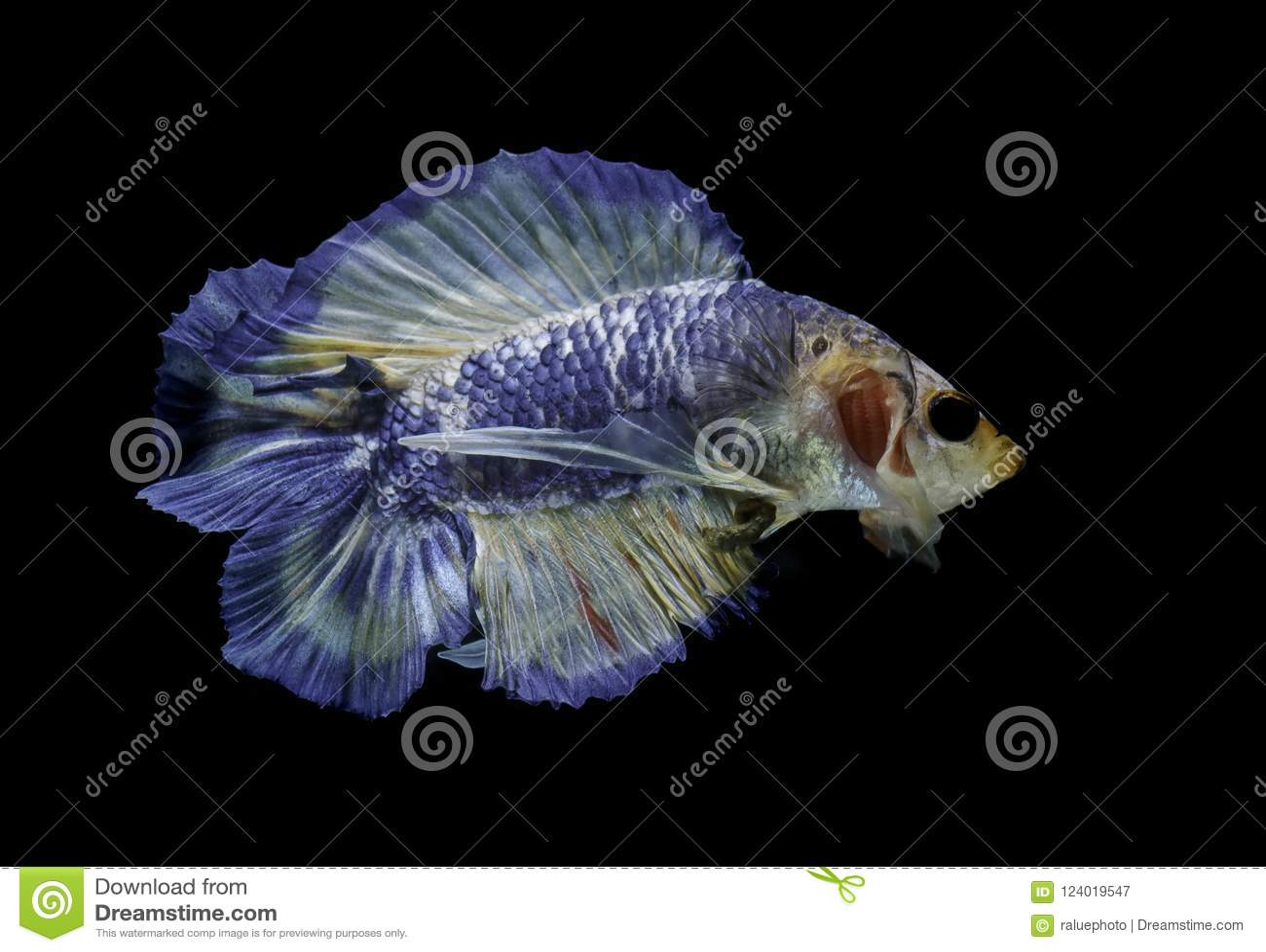 Siamese Fighting Fish Fight Blue Fish Betta Splendens Betta Fish