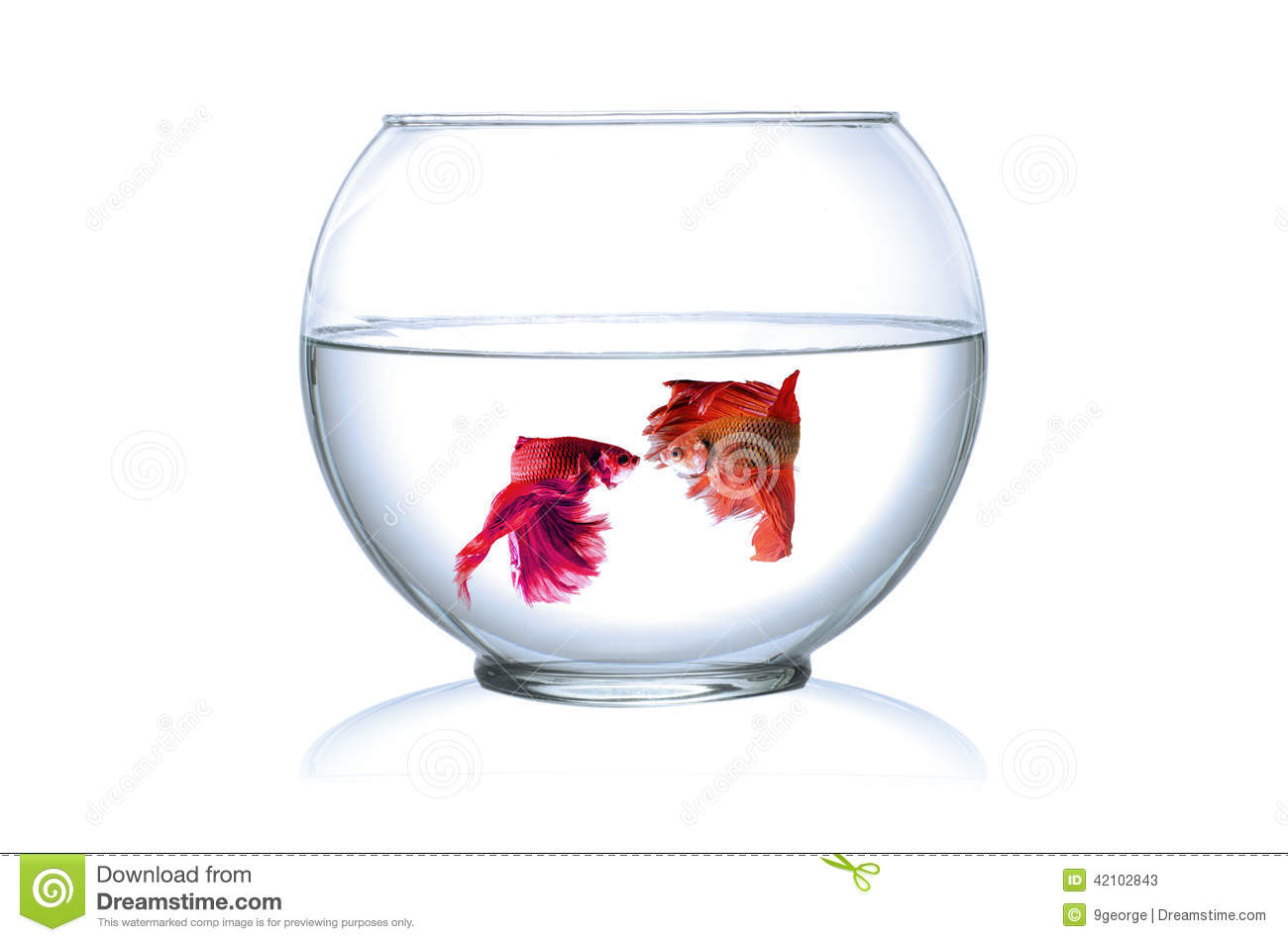 Siamese fighting fish in fish bowl stock image image for Best fish for fish bowl