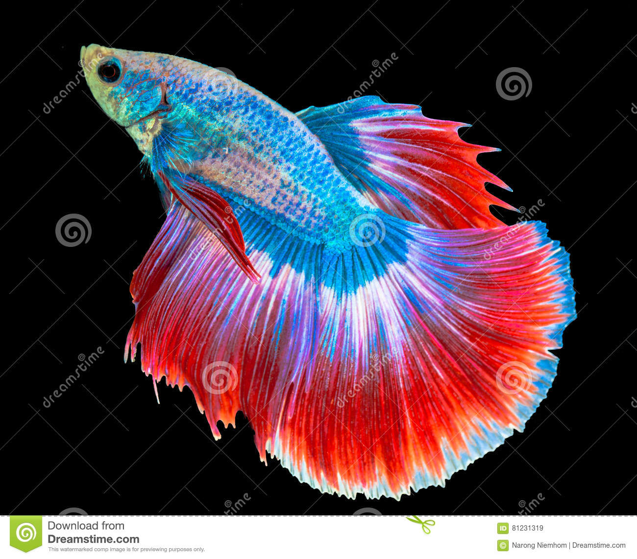 The Siamese fighting fish stock image. Image of have - 81231319