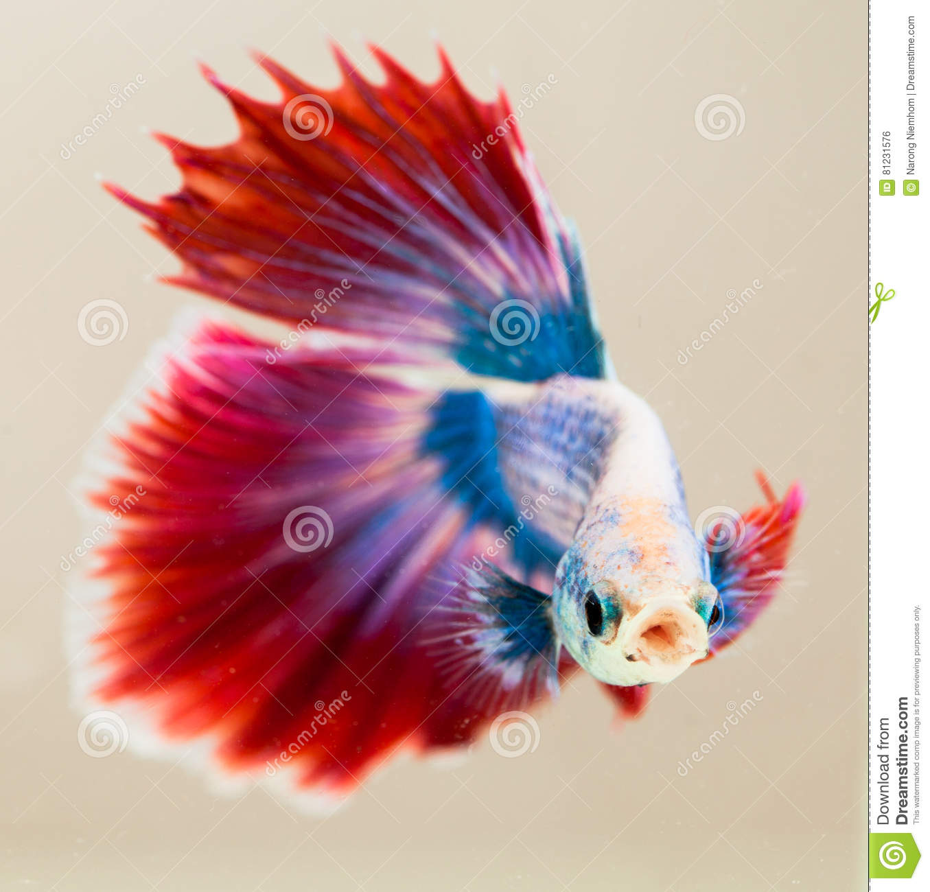 The Siamese fighting fish stock photo. Image of freshwater - 81231576