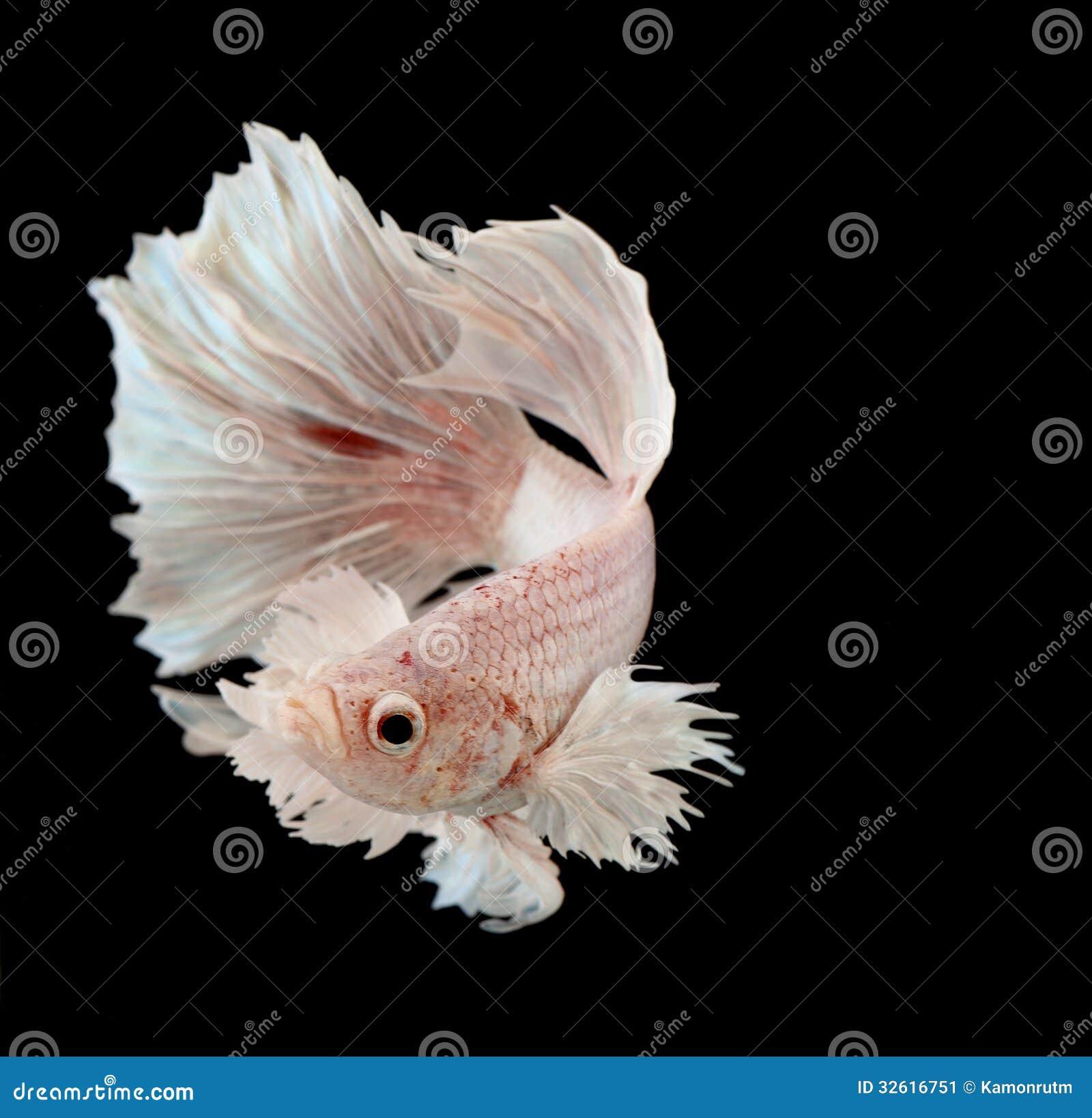 Siamese het vechten vissen