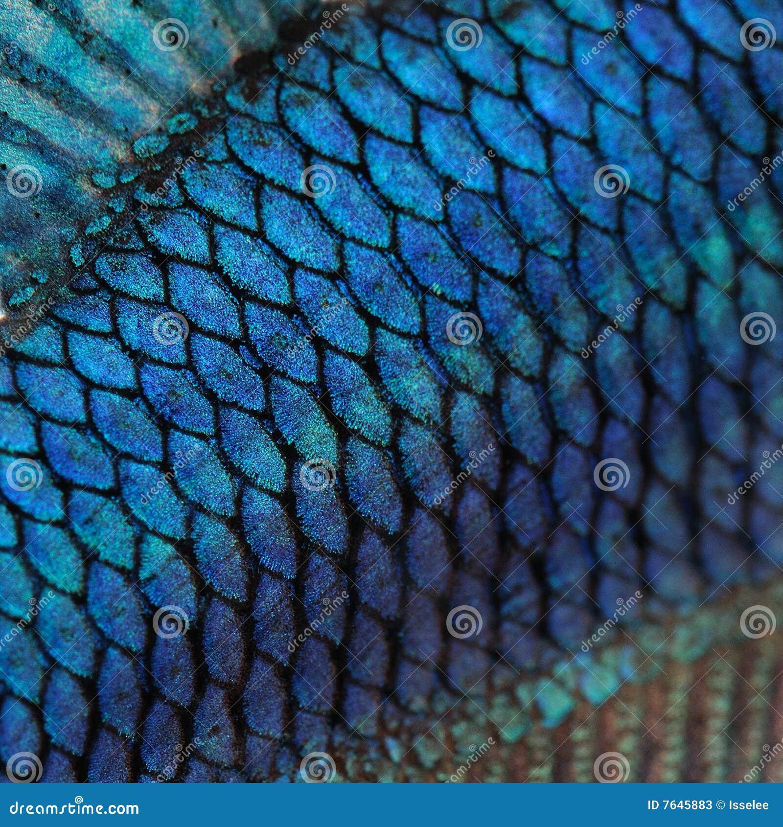 Siamese hud för blå stridighetfisk