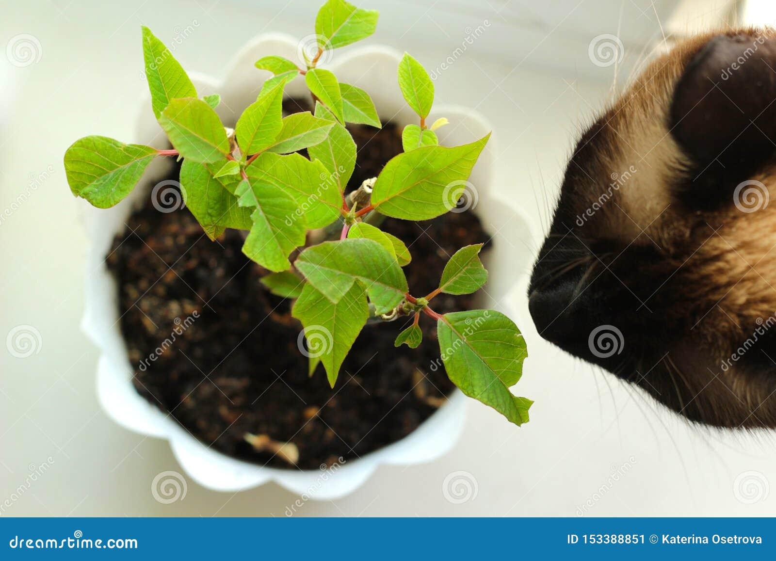 Siamese katt som luktar blomman ovanf?r sikt