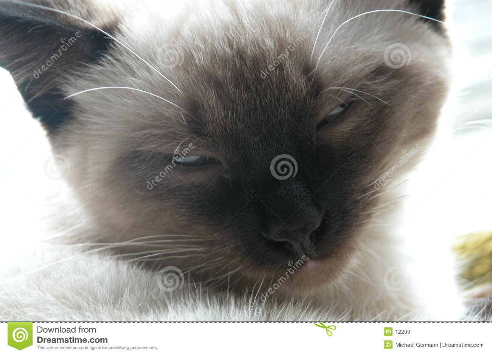 Siamese kattunge