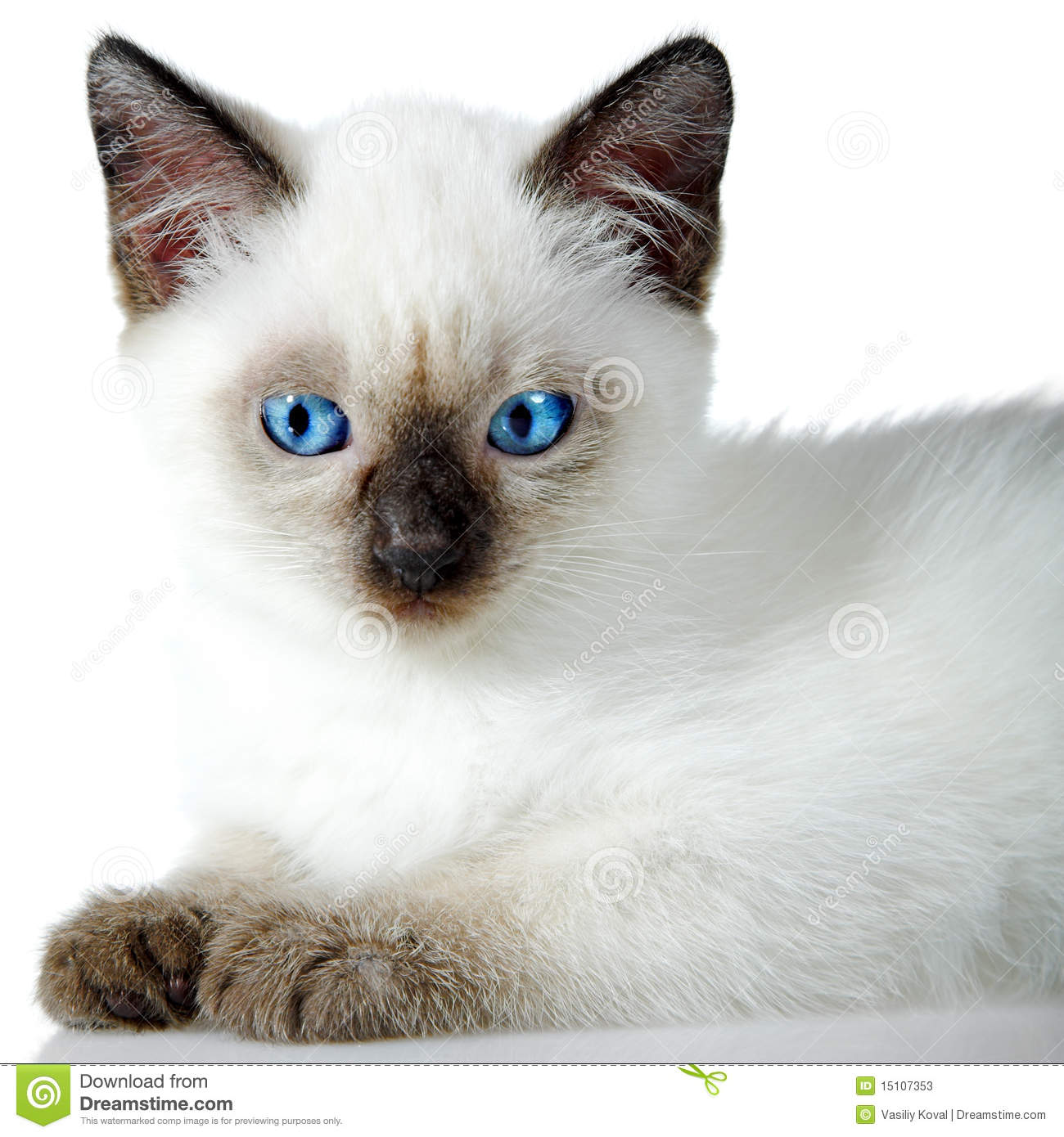 Siamese kitten isolated on the white background.