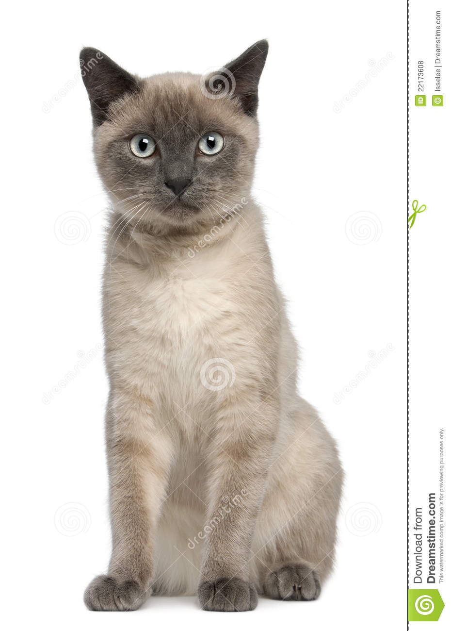 Siamese Kitten, 6 Months Old, Sitting Royalty Free Stock Photos ...