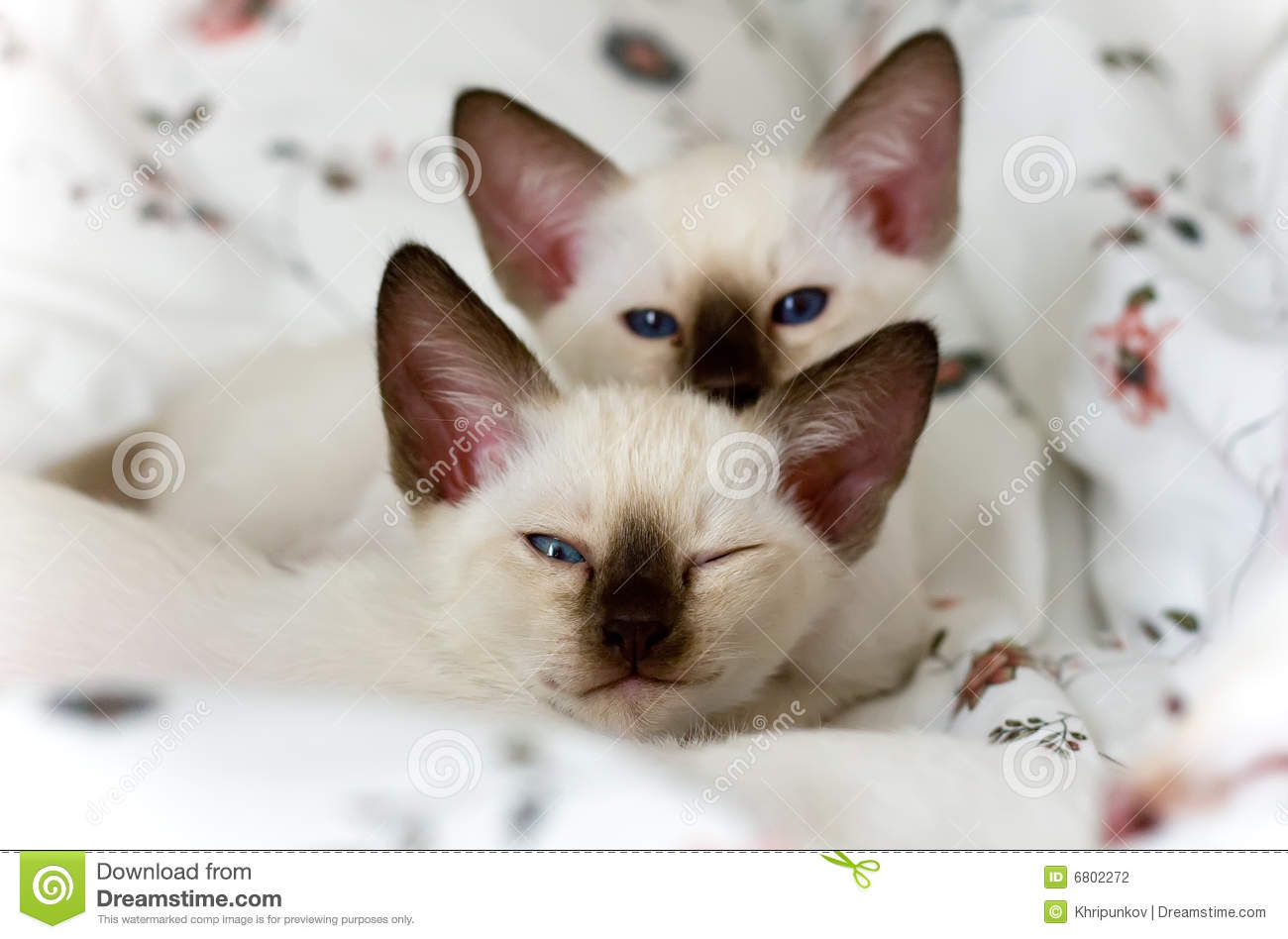 Two amusing siamese kittens on the beautiful bed-clothes.
