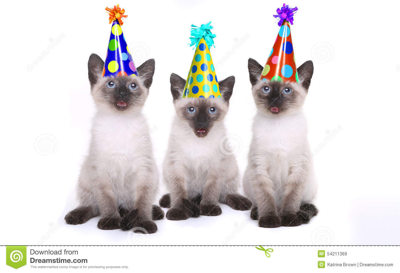 Siamese kittens celebrating a birthday with hats stock photo image