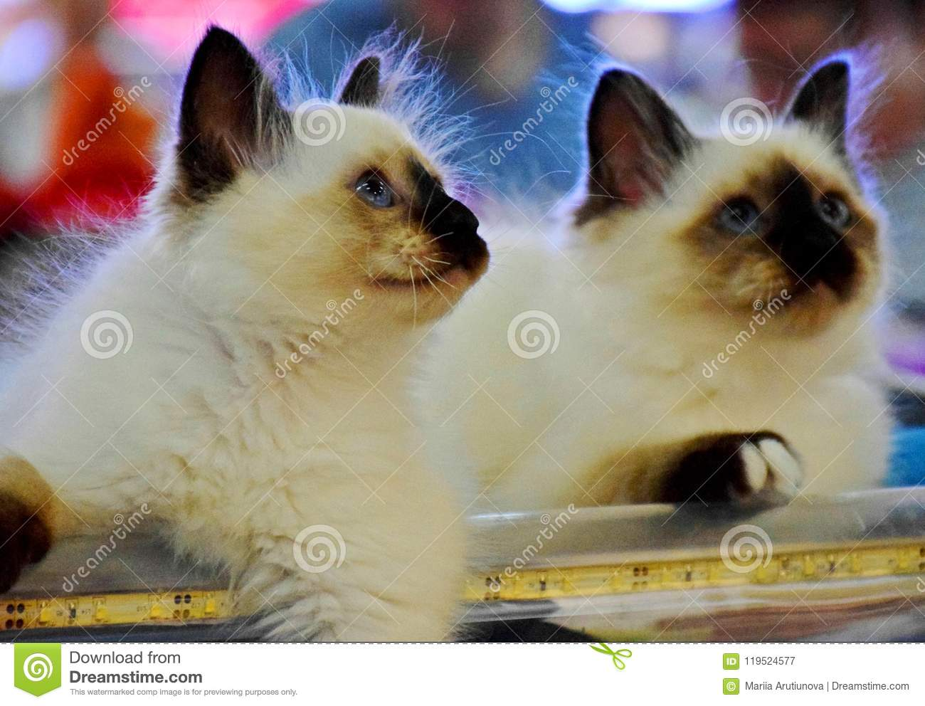 siamese kittens sit and watch stock image image of watch fluffy