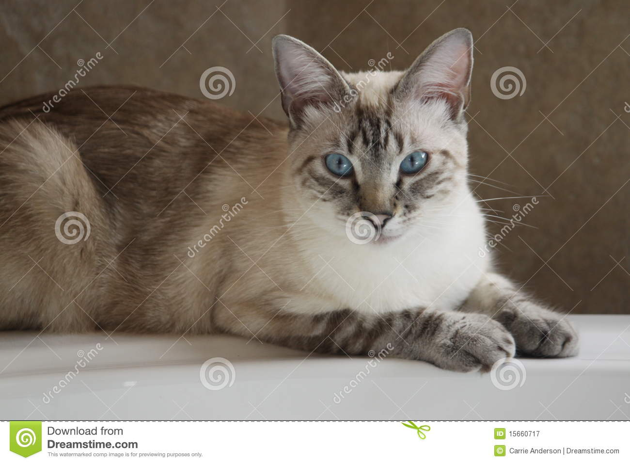 Siamese Lynx Point Cat On Bathtub Stock Image - Image of white ...
