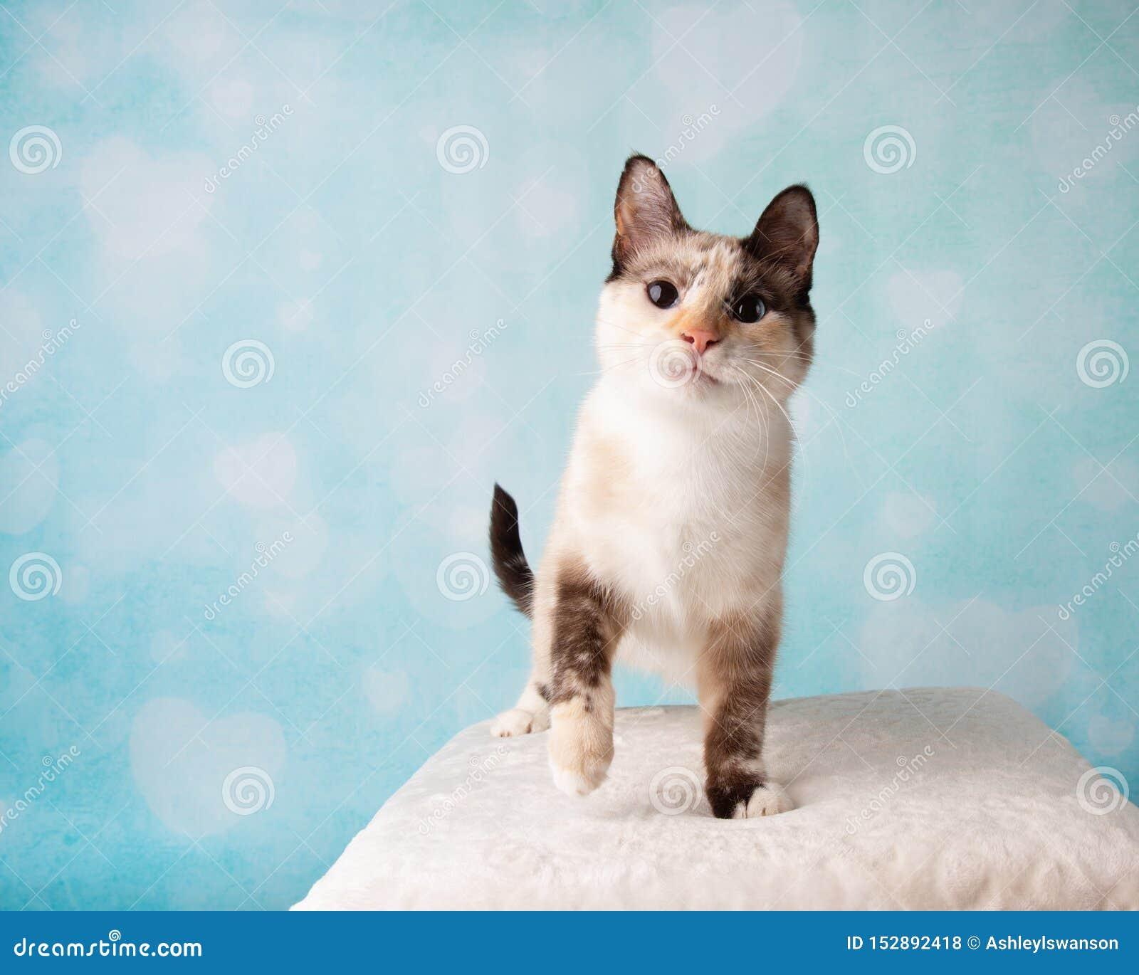 Siamese Mix Cat in Studio Portrait