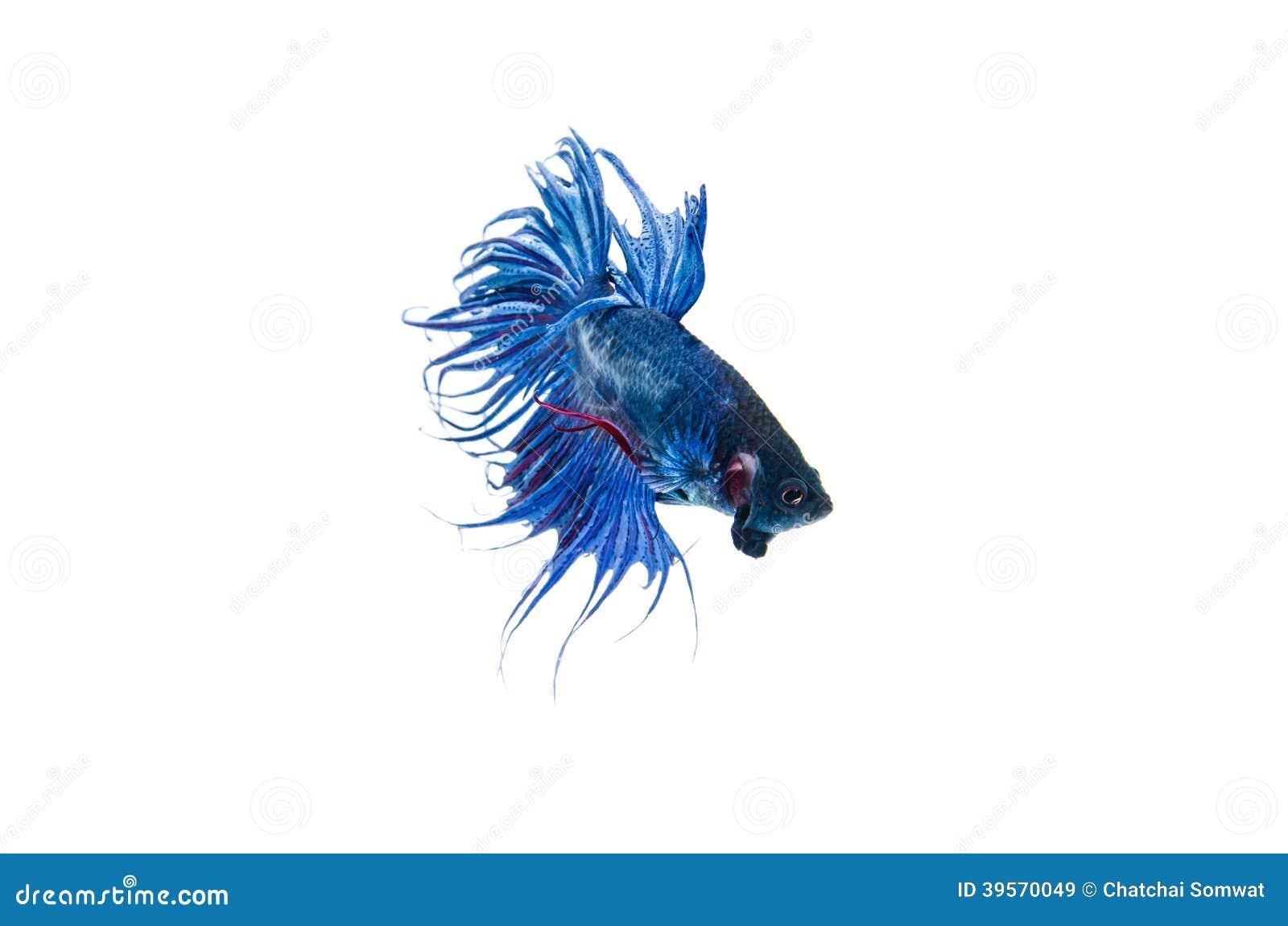 Siamese stridighetfisk