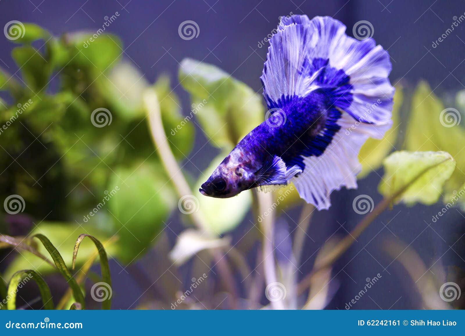 Siamese stridighetfisk, bettasplendens (Halfmoonbettaen)