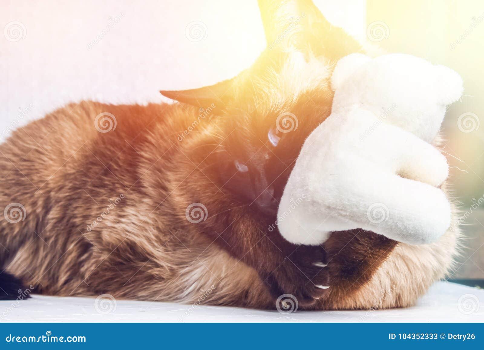 Siamese Thai Cat Plays With A Teddy Bear Claws Teeth Aggression