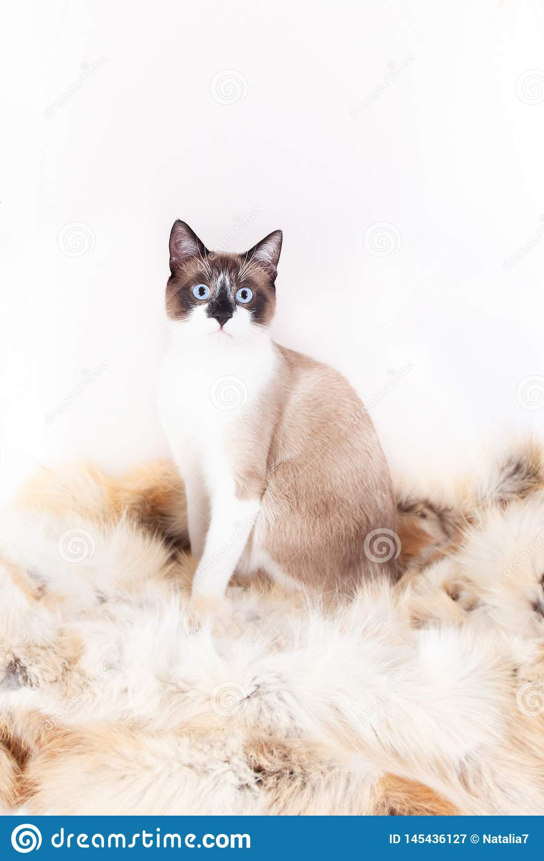 Siamese thai cat sitting on a fur rug for pets, isolated on the white background