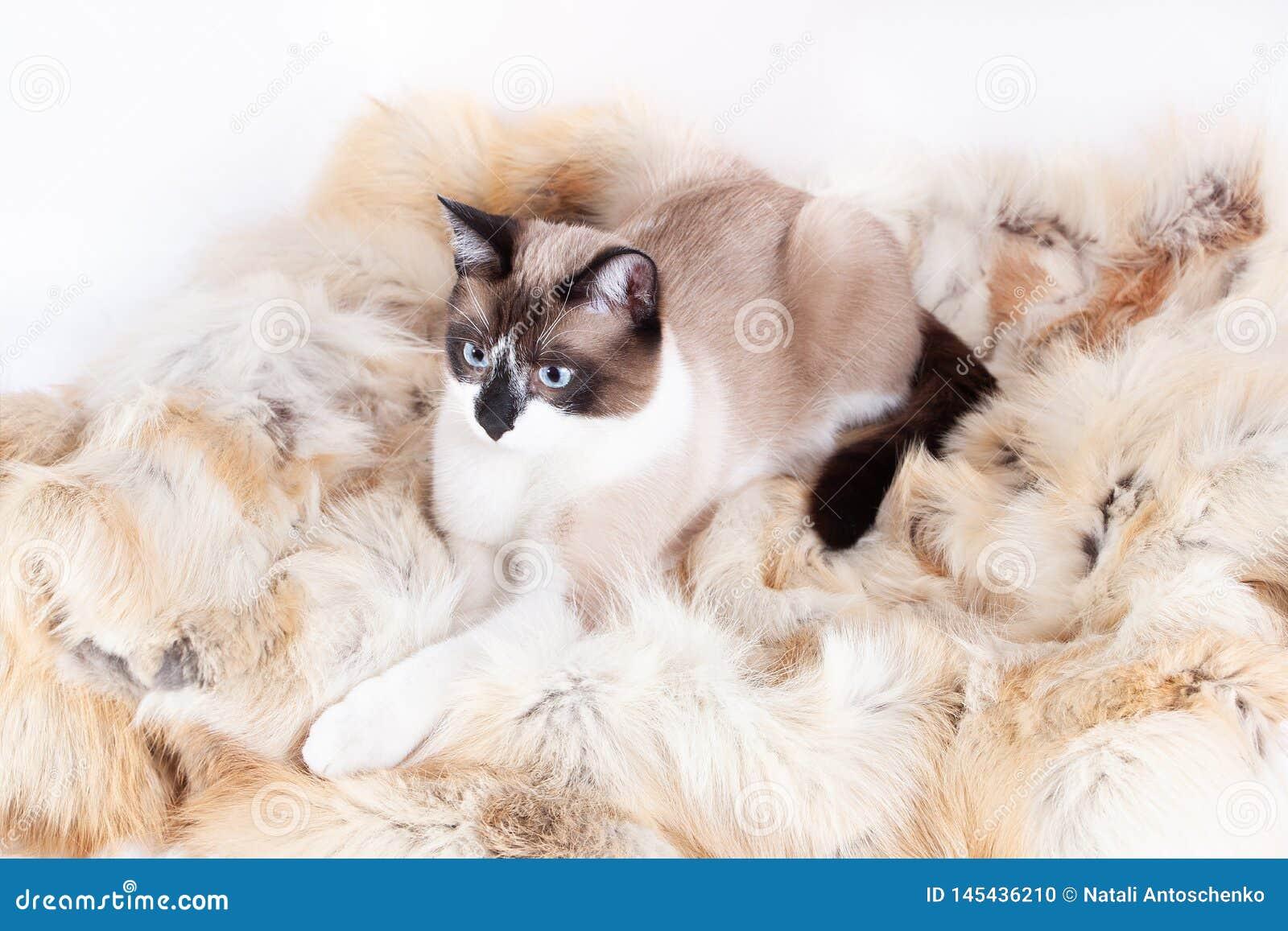 Siamese thai katt som sitter på en pälsfilt för husdjur som isoleras på den vita bakgrunden