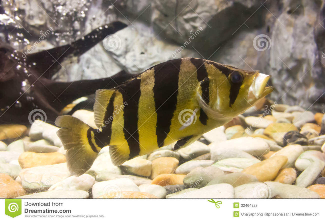 False Siamese Tiger Fish (Datnioides microlepis) | Tropical Fish ...