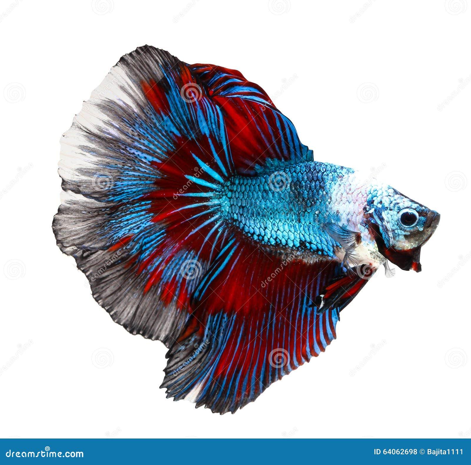 Siamesischer kampffisch betta auf wei stockfoto bild for Kampffisch betta