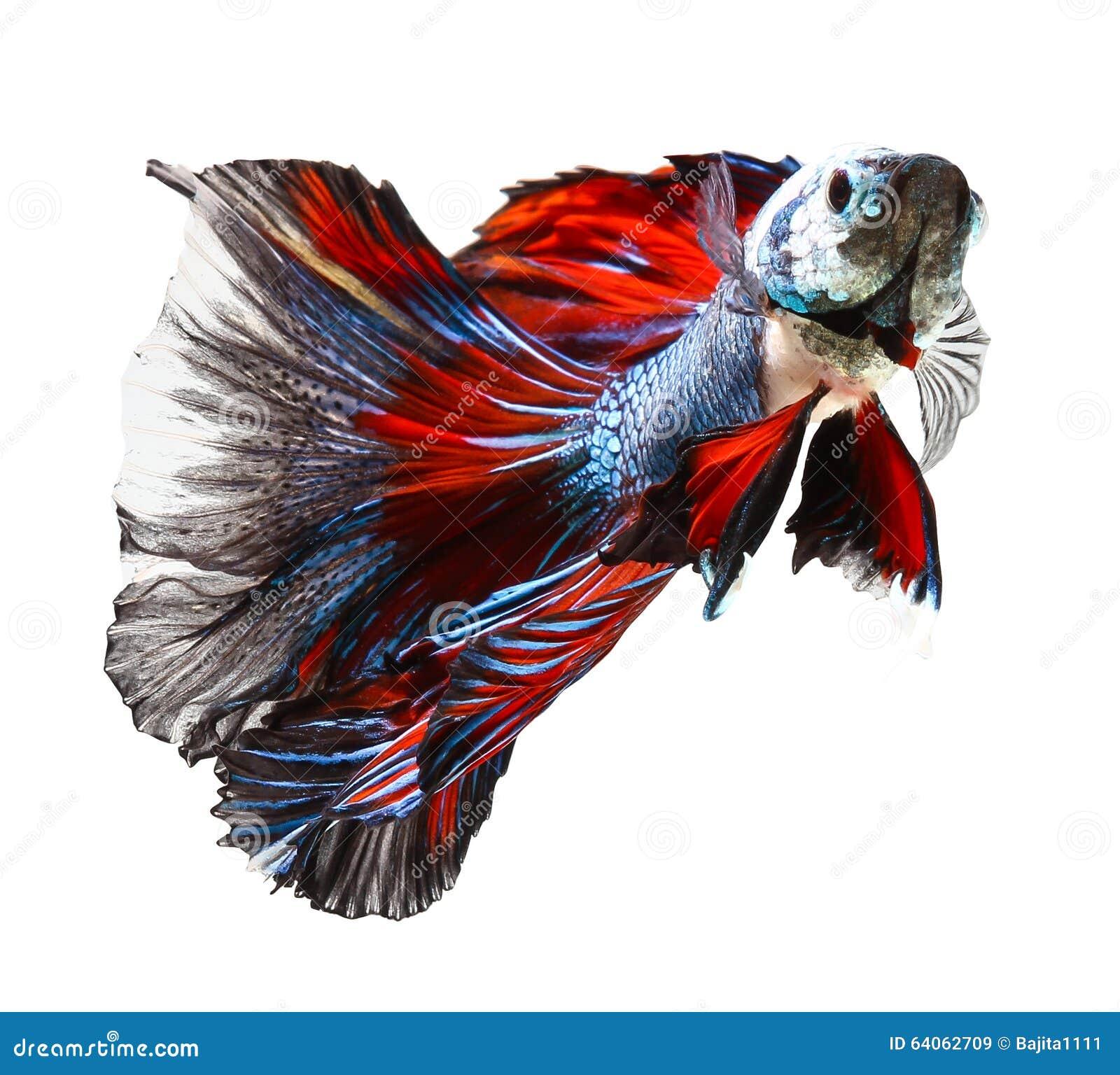 Siamesischer kampffisch betta auf wei stockbild bild for Kampffisch betta