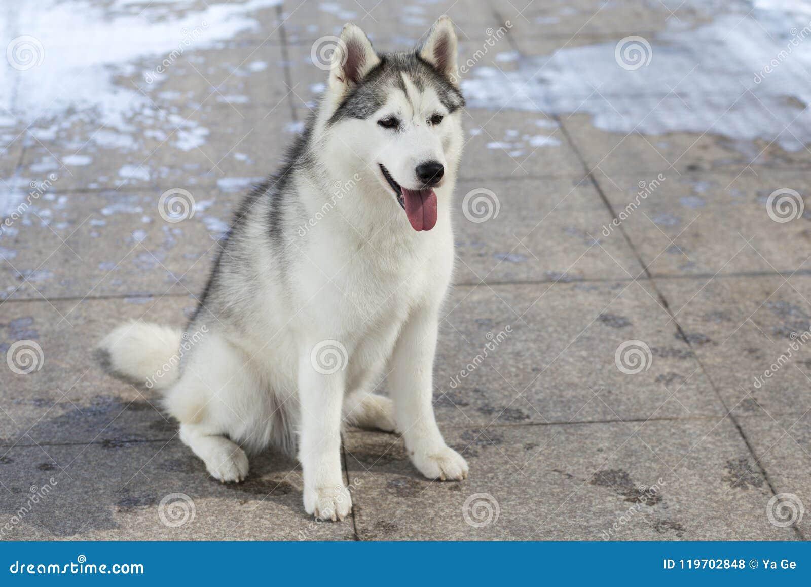 Siberian Husky Dog Stock Photo Image Of Outdoors Grass 119702848