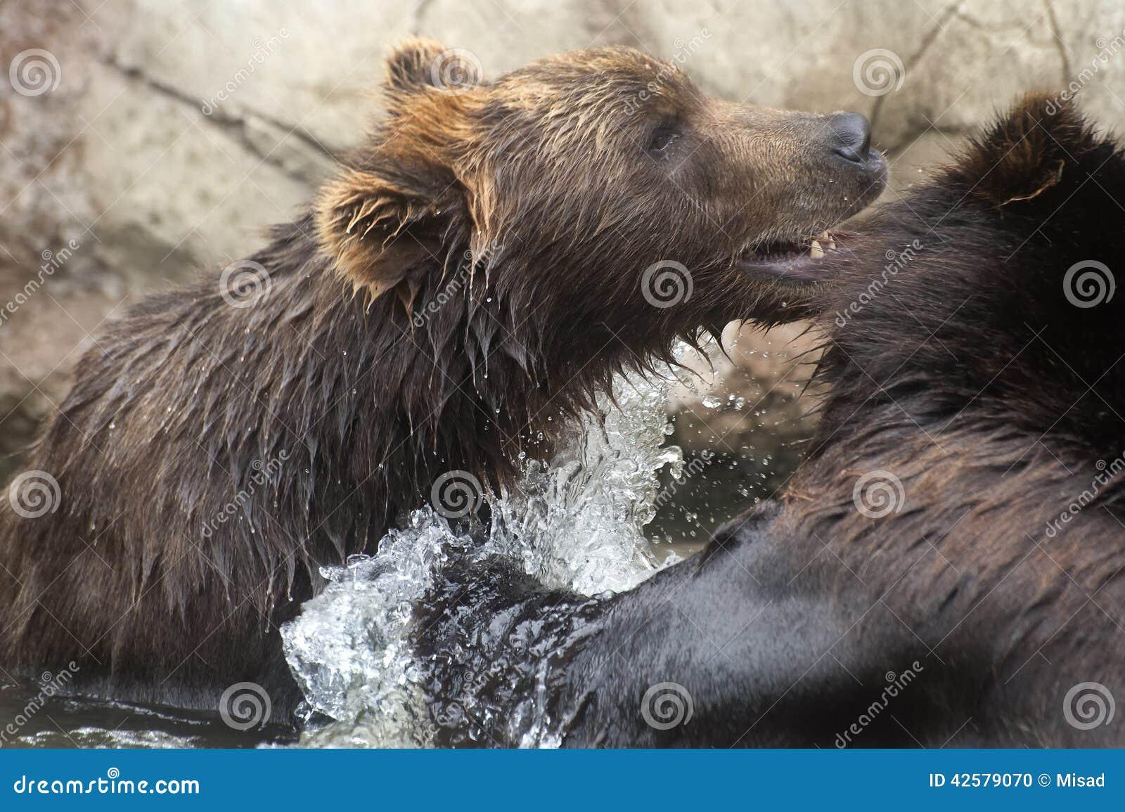 Siberian Brown Bears