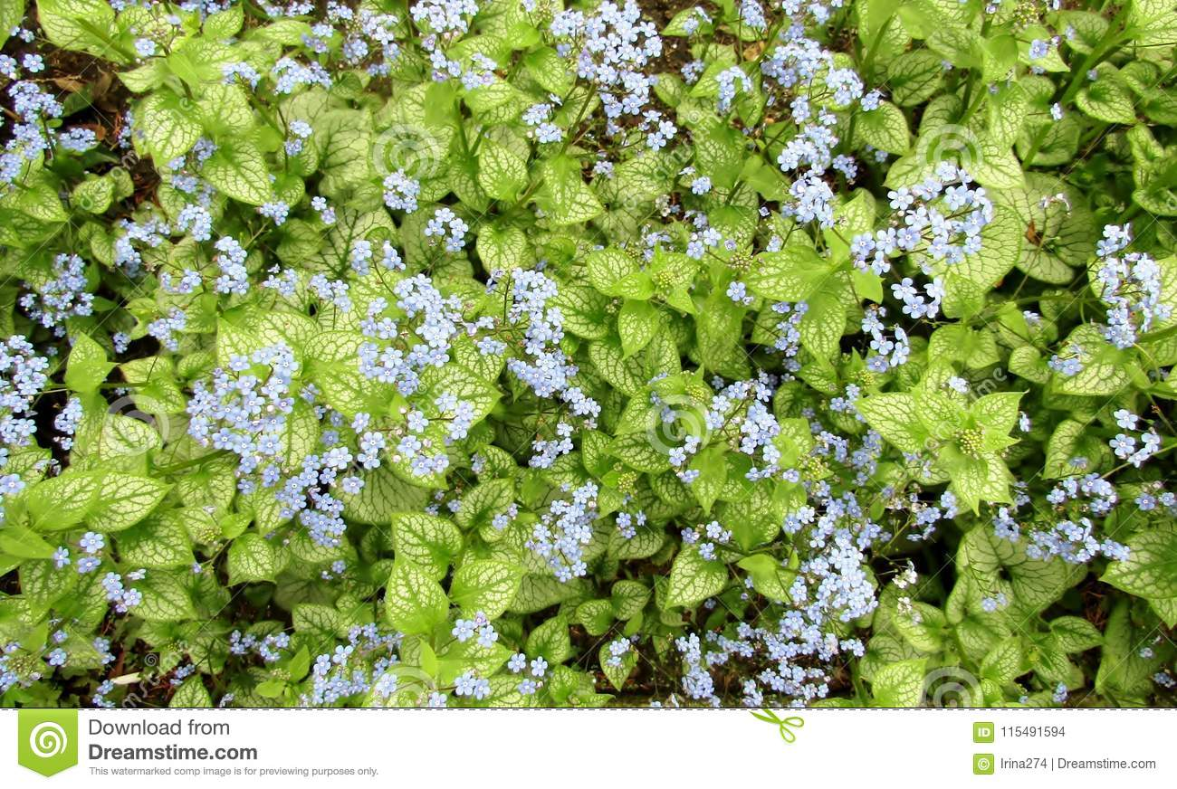 Siberian bugloss or Brunnera macrophylla blue flowers