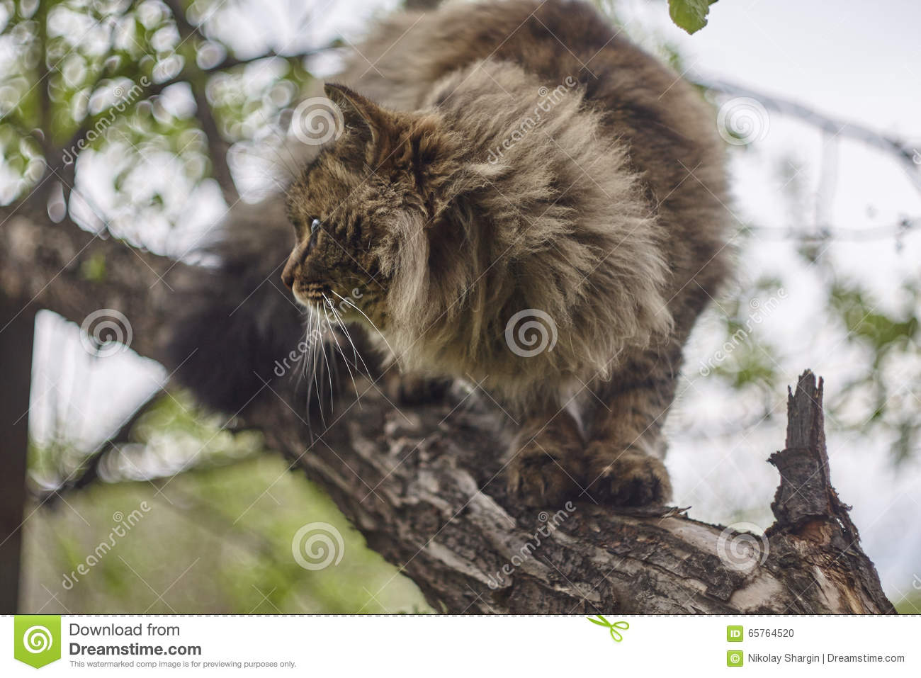 siberian cat 39 s sideview cat on apple tree close up brown cat stock photo image 65764520. Black Bedroom Furniture Sets. Home Design Ideas