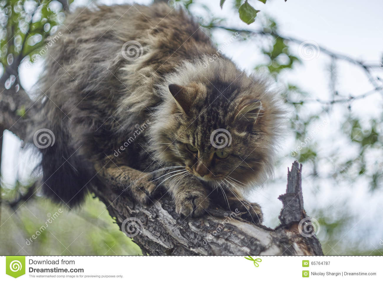 siberian cat is sitting on apple tree and watching down bokeh background nice cat stock image. Black Bedroom Furniture Sets. Home Design Ideas
