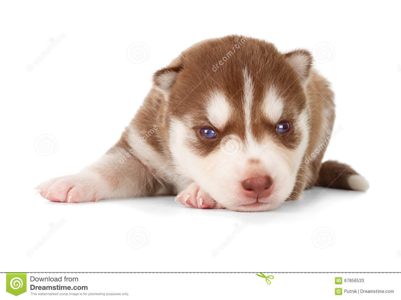 Siberian Cooper Red Husky Puppy Stock Image Image Of Copper