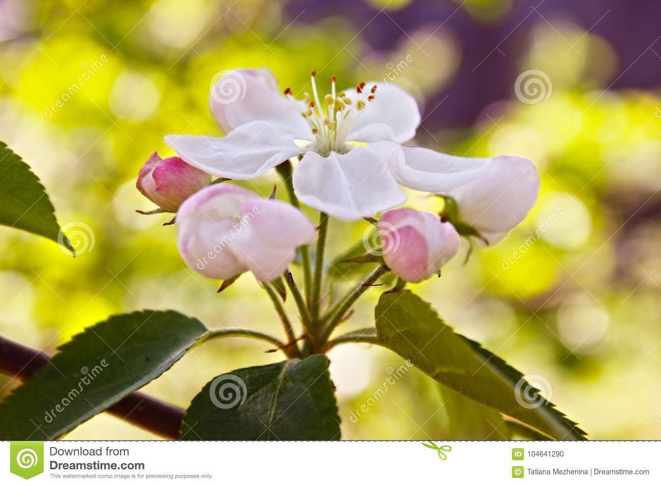 Siberian Crab Apple Trees White Flower And Leaves Stock Photo