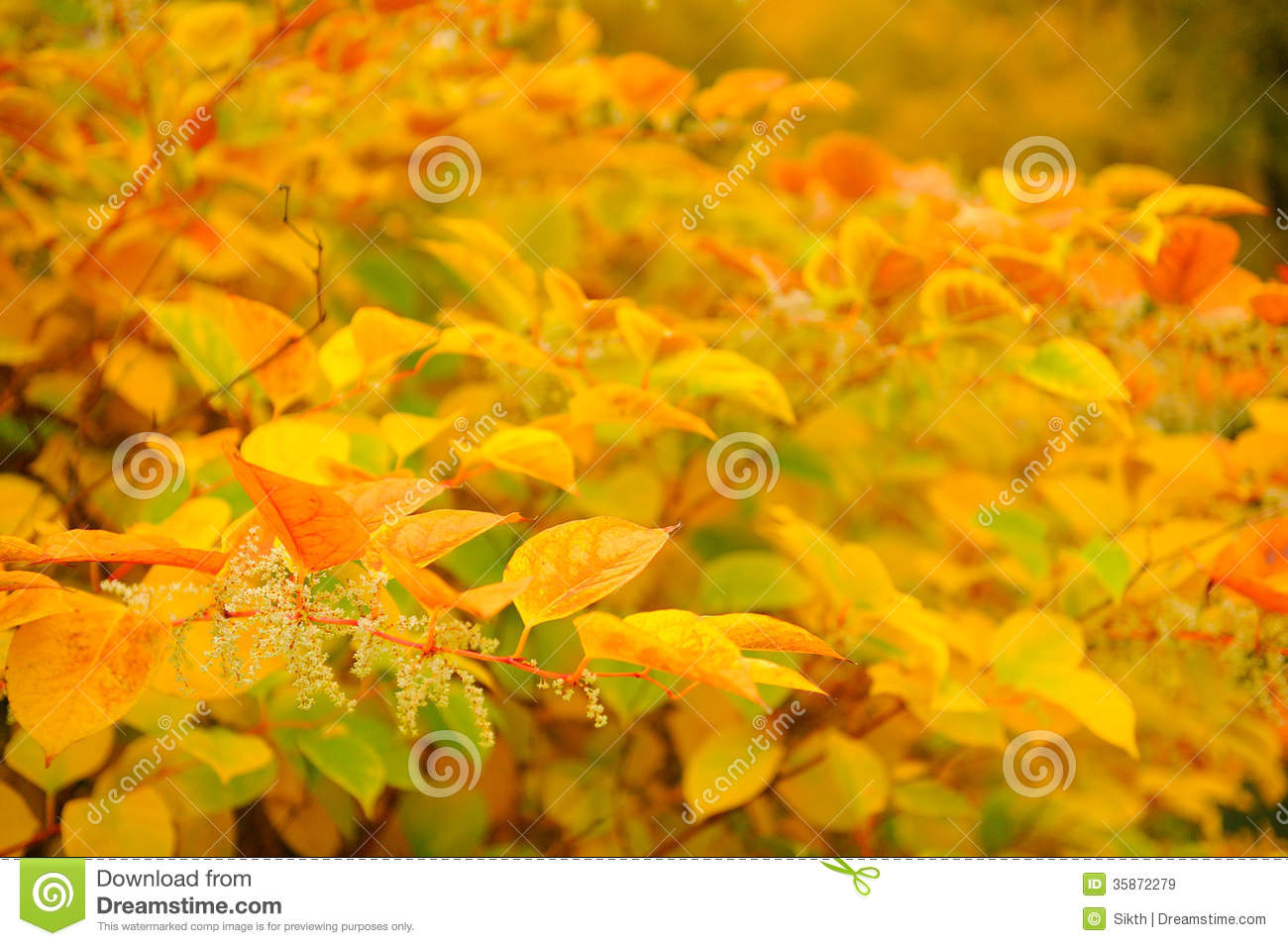 Siberian Dogwood (Cornus Alba) With Red And Yellow Leaves In Autumn ...