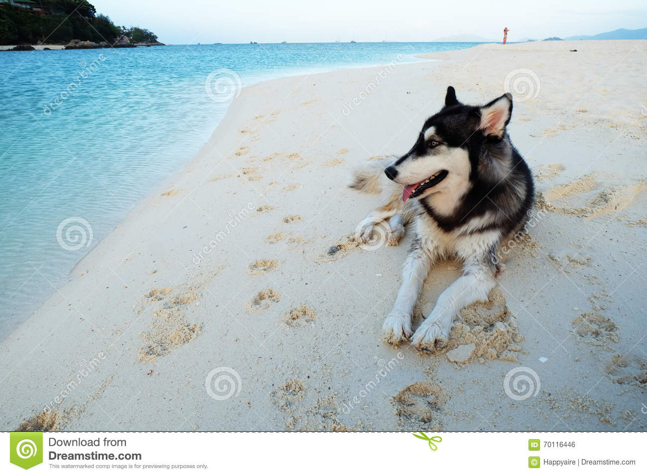 Siberian Huskies On A Beach Stock Photo Image Of Black Face 70116446