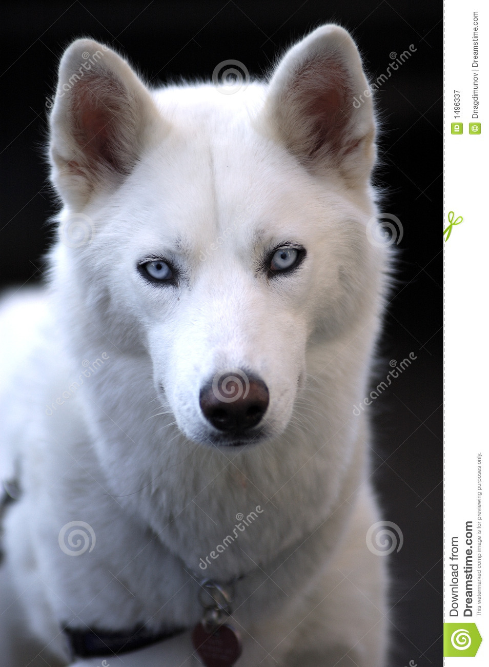 Image Result For Siberian Husky For Sell