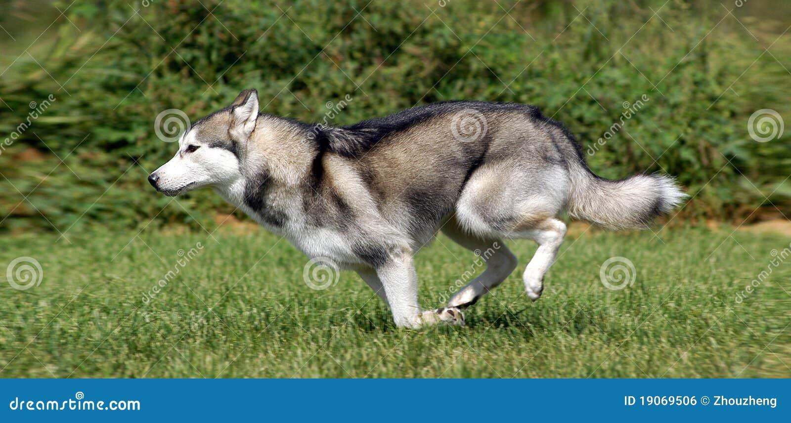 Siberian Husky Royalty Free Stock Image Image 19069506