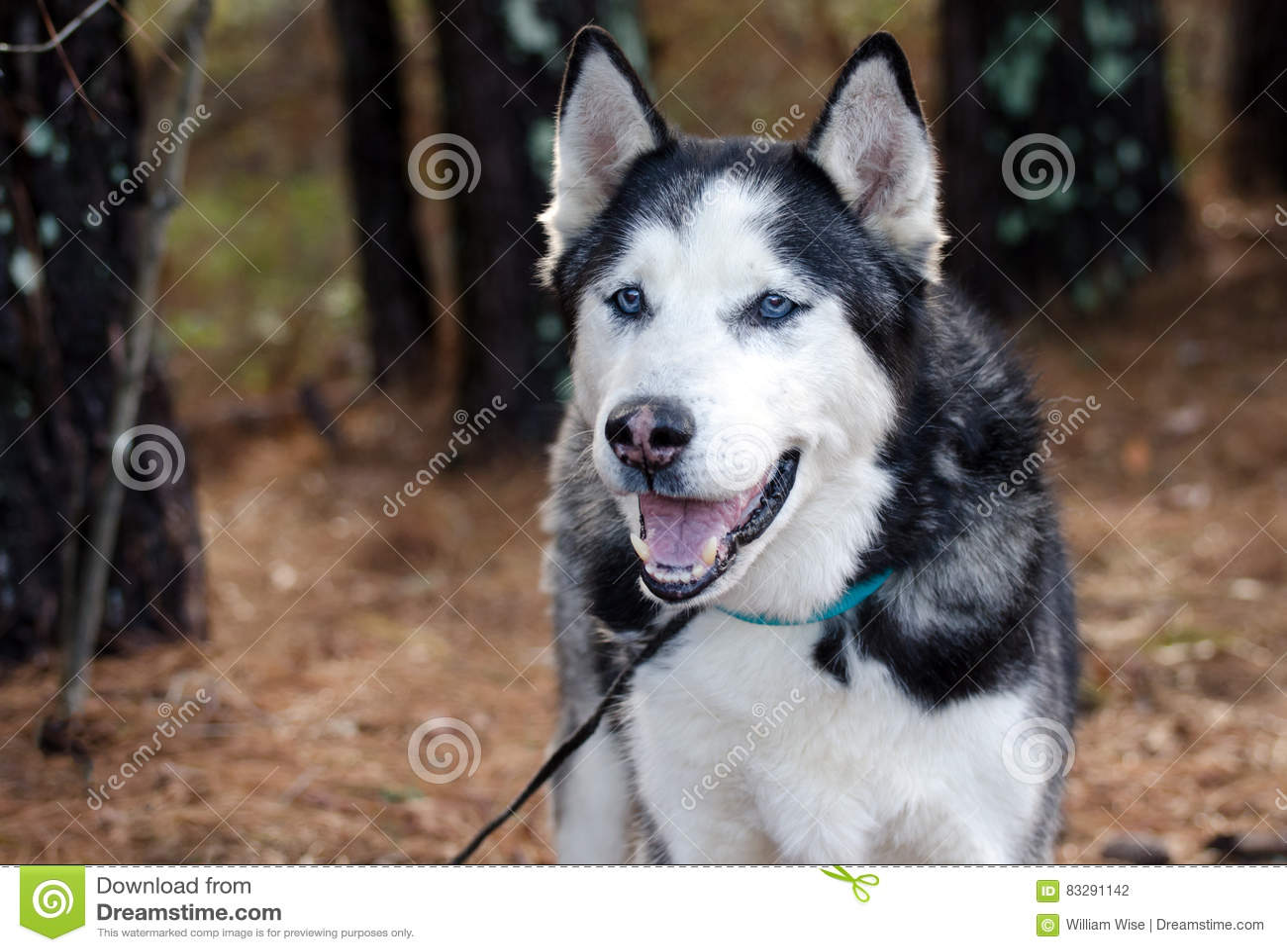 Siberian Husky With Blue Eyes Stock Photo Image Of Bark Howl