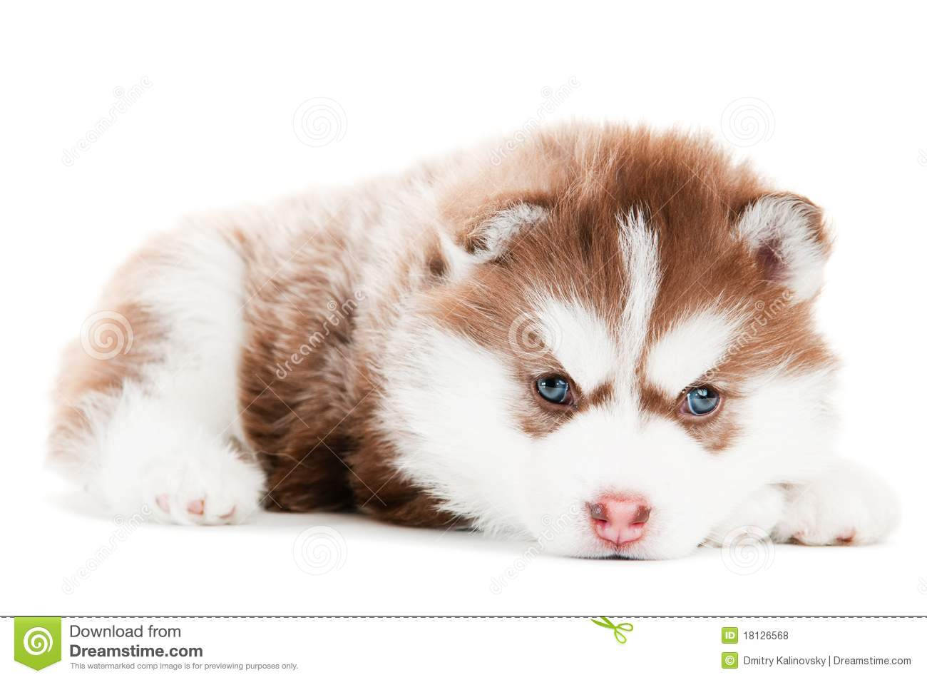 White And Brown Dog With Blue Eyes