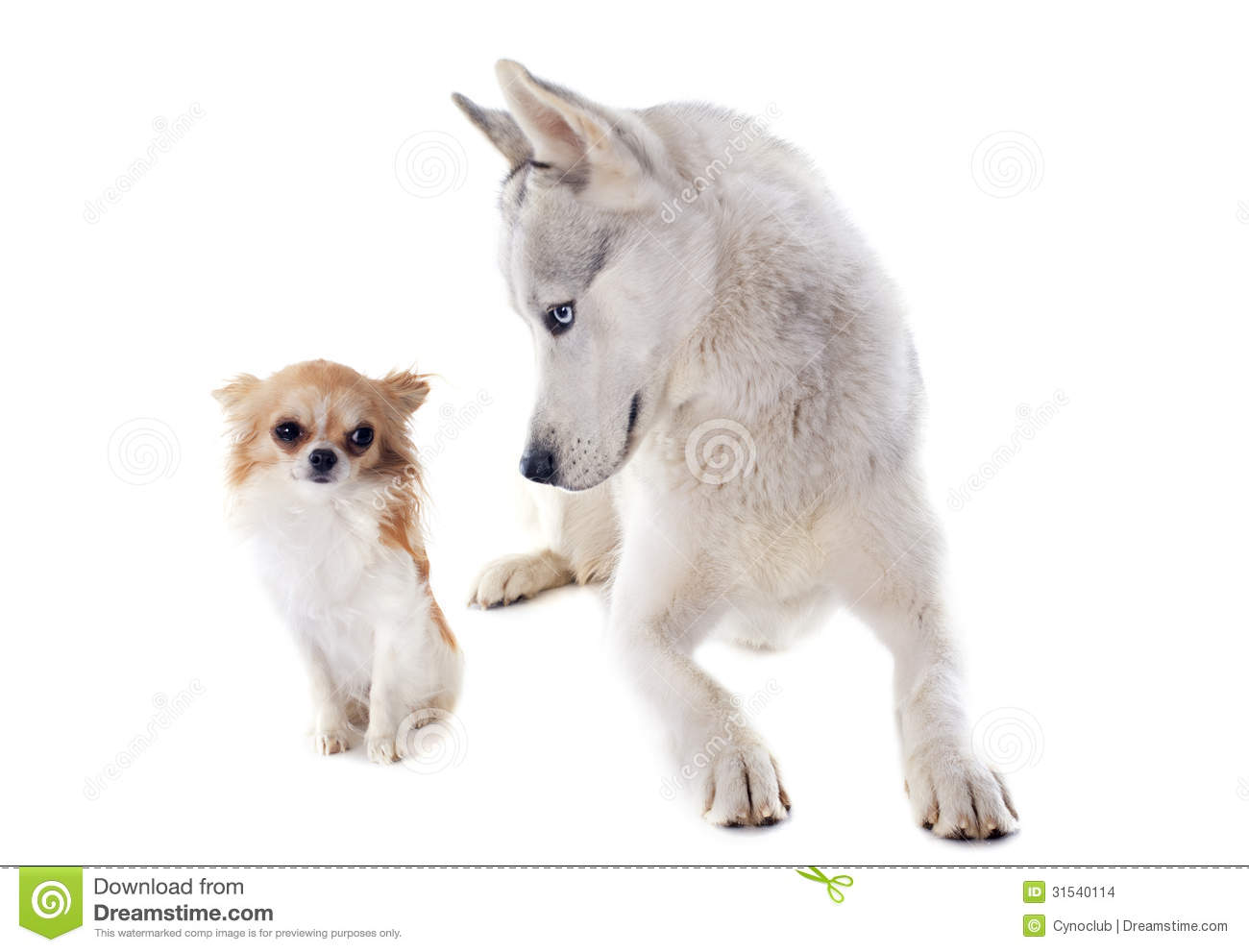 Siberian Husky And Chihuahua Stock Images - Image: 31540114