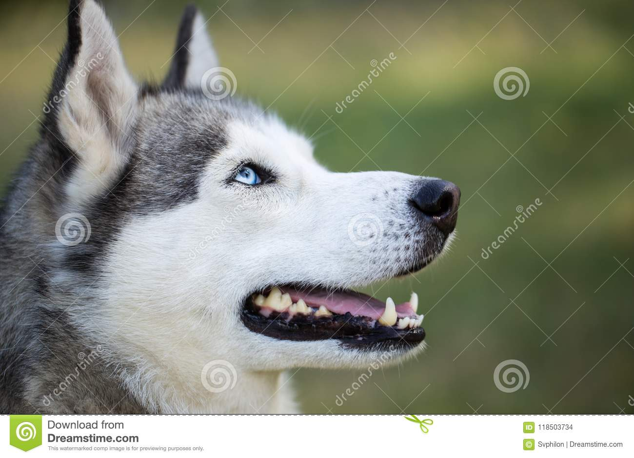 Siberian Husky Close Up Stock Photo Image Of Doggy 118503734