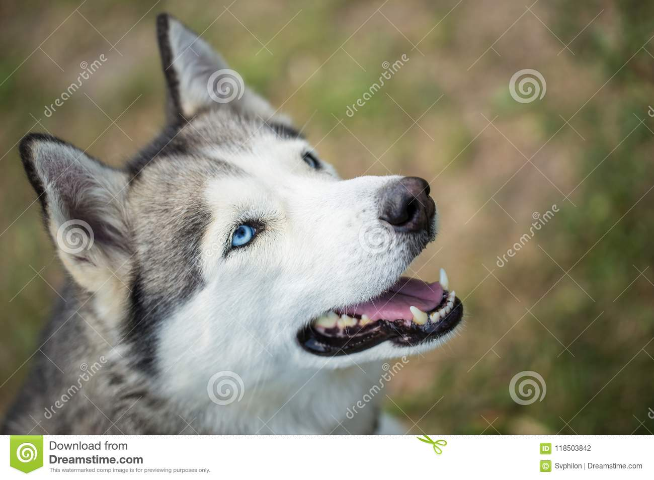 Siberian Husky Siberian Husky Close Up Stock Photo Image Of