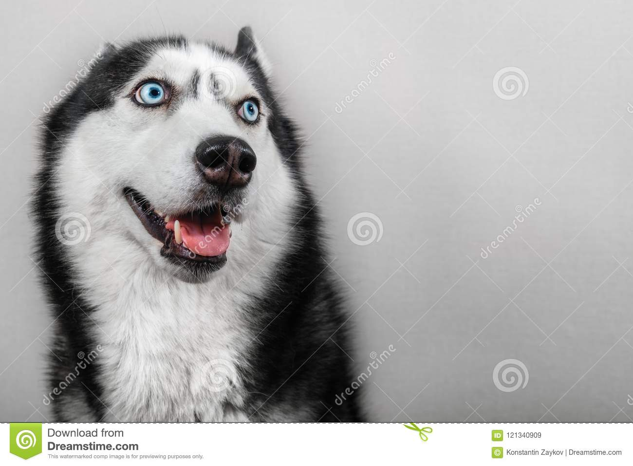 Siberian husky dog isolated on gray. Portrait confused funny sled-dog with blue eyes and with pressed ears.
