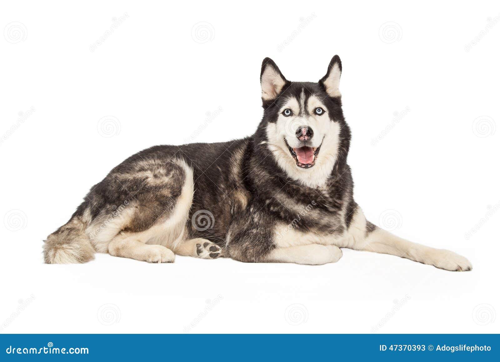 how to train a siberian husky obedience