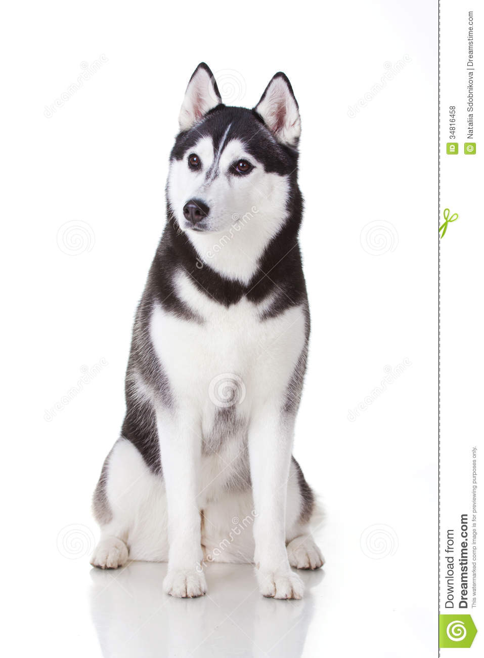 how to train a siberian husky obedience