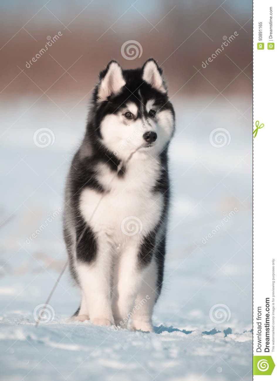 Siberian Husky Dog Puppy Black And White Portrait In The Snow Meadow