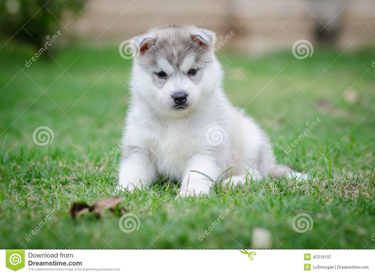 Siberian Husky Dog Puppy Stock Image Image Of Pets Cheerful 42319137