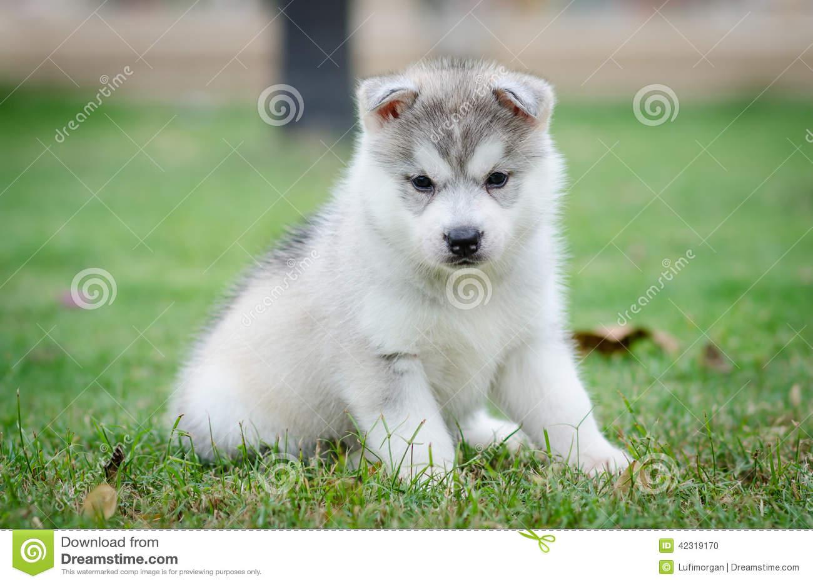 Siberian Husky Dog Puppy Stock Photo Image Of Outdoors 42319170