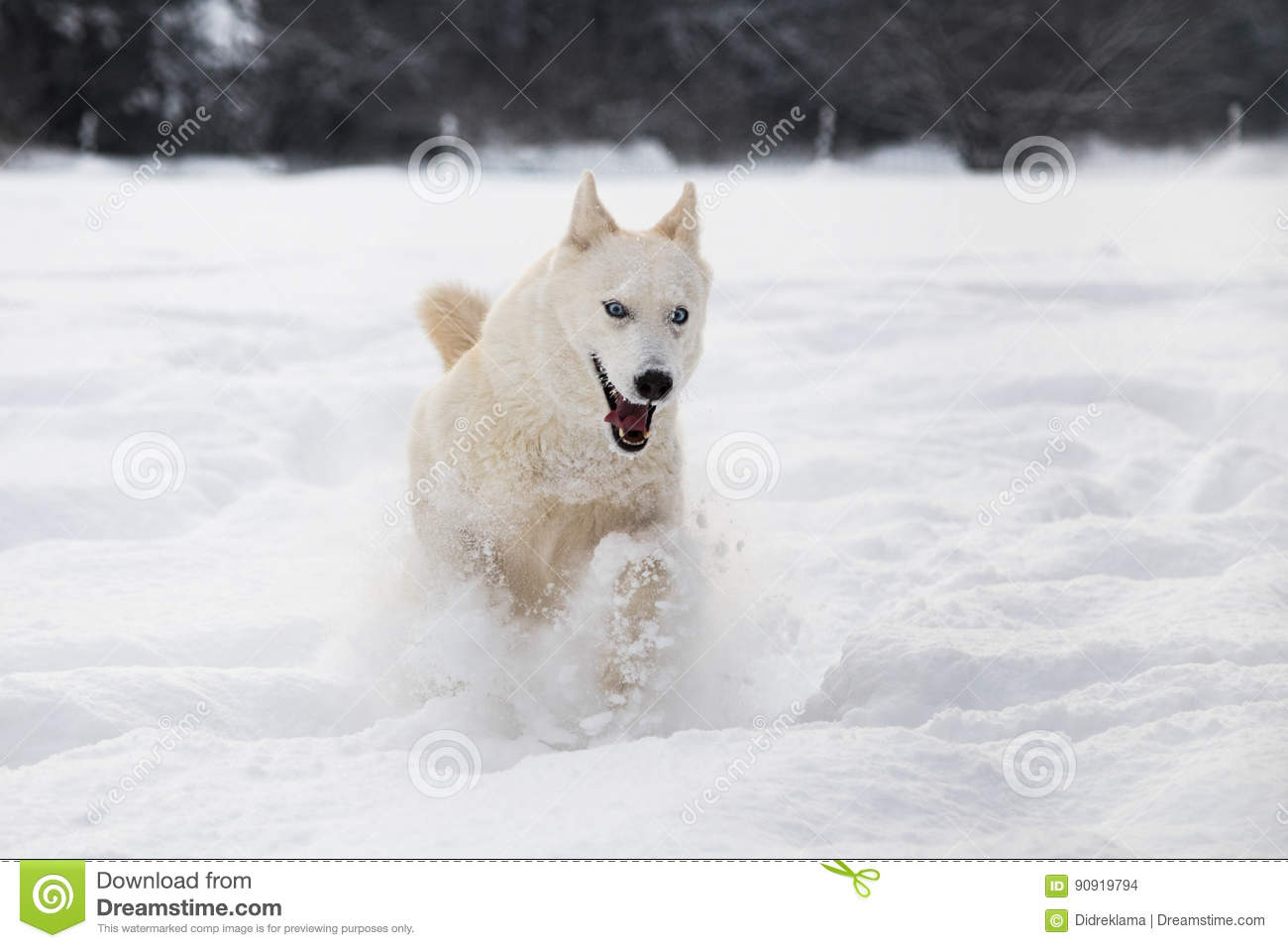 Siberian Husky Dog Running In Snow Stock Photo Image Of Cold