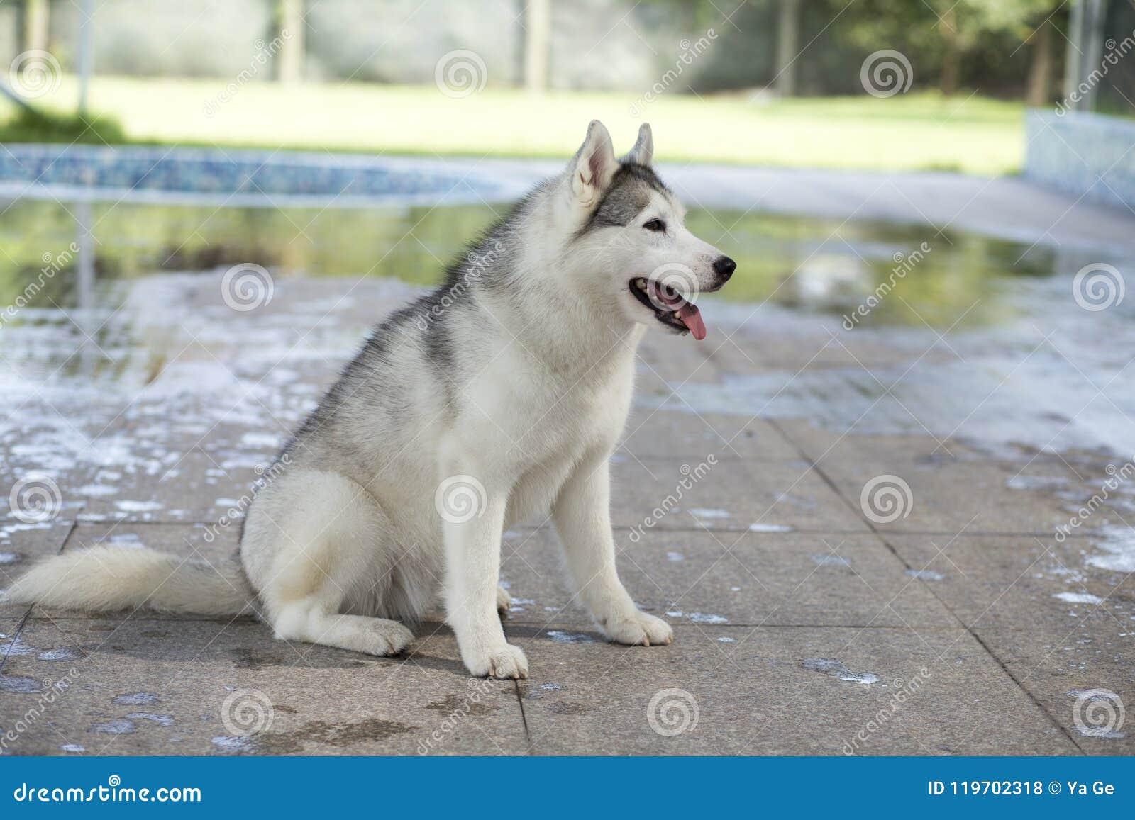 Siberian Husky Dog Stock Photo Image Of Siberia Sled 119702318