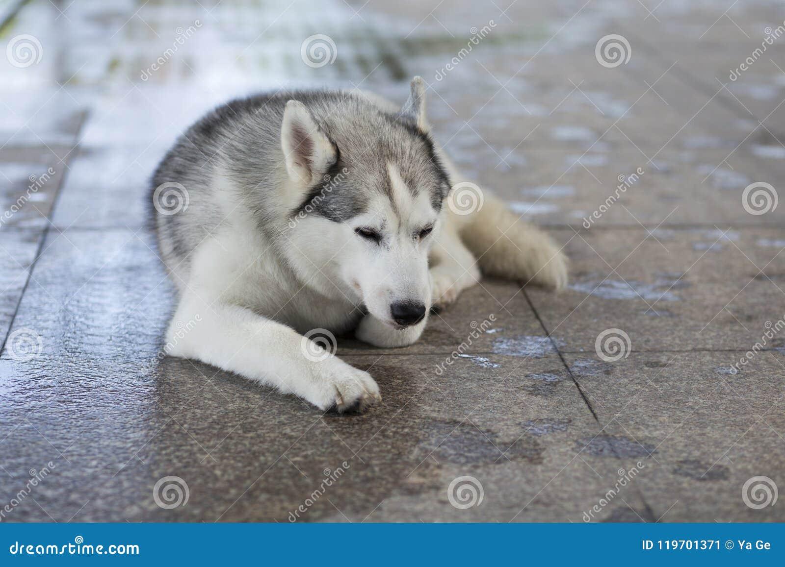 Siberian Husky Dog Stock Image Image Of Silly Siberia 119701371