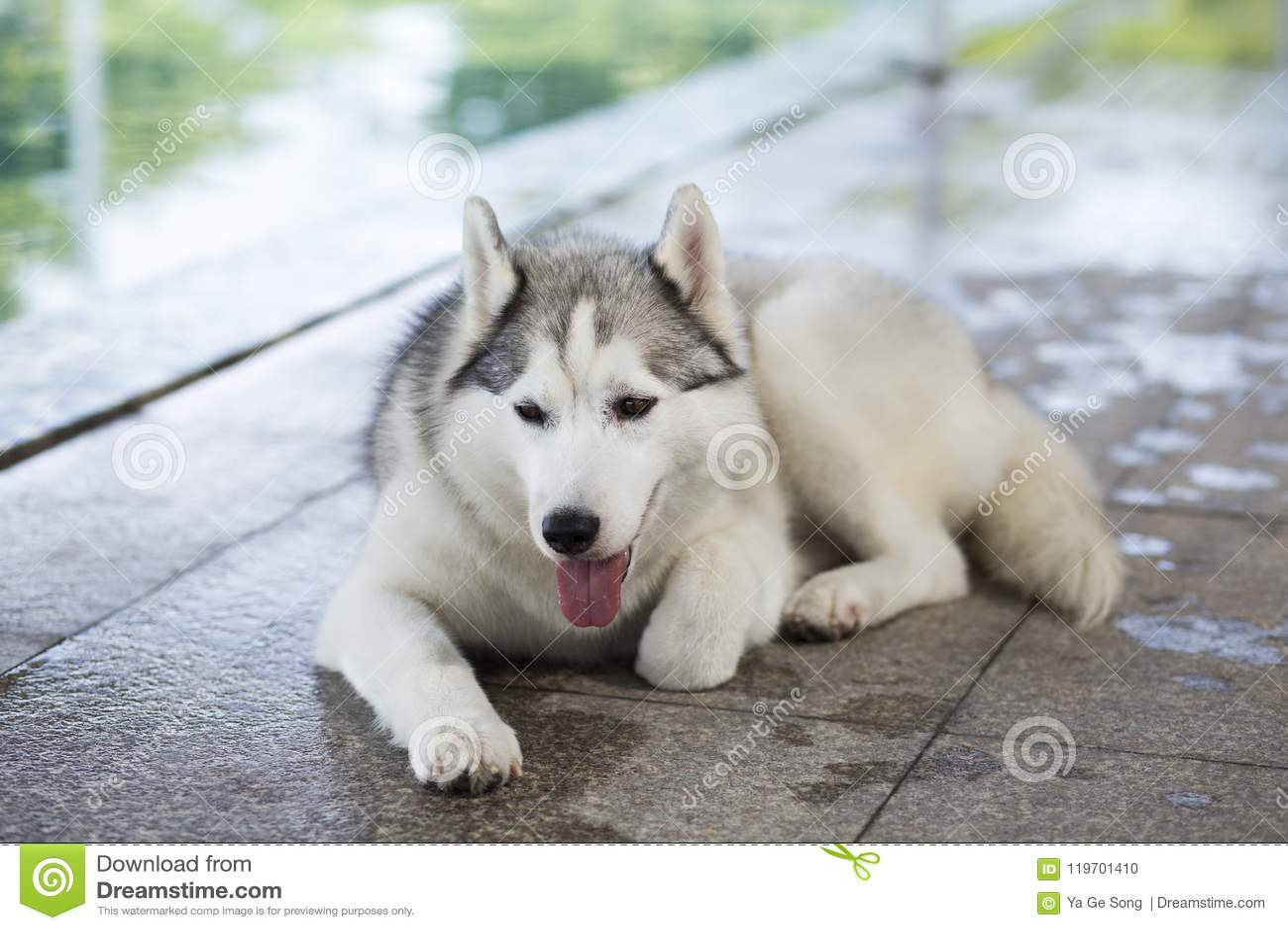 Siberian Husky Dog Stock Photo Image Of Siberia Silly 119701410