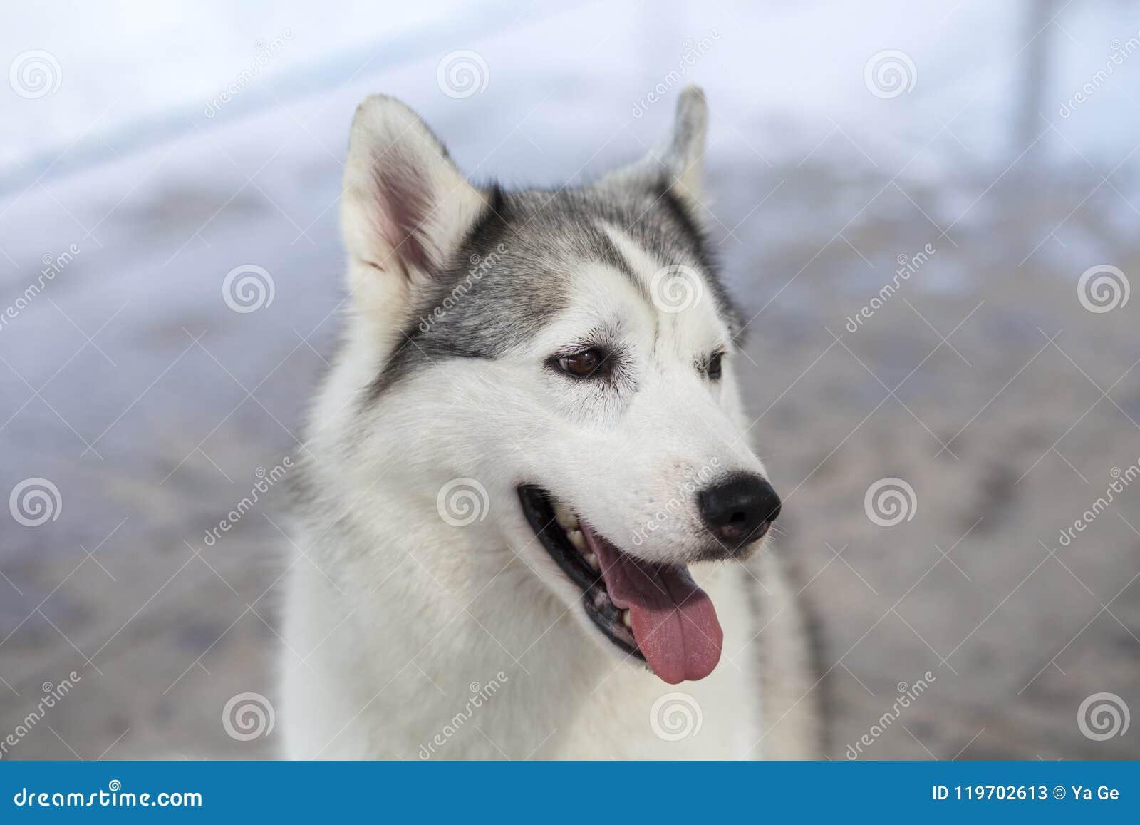 Siberian Husky Dog Stock Image Image Of Swimming Canine 119702613